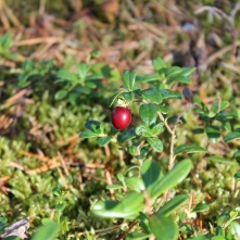 A lingonberry
