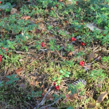 Some lingonberries