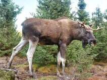 Moose-Gustav by Elchi / Creative Commons